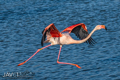 Ready for take-off ... -2558 (George Vittman) Tags: bouchesdurhône france fr flamingo flight running speed nikonpassion wildlifephotography jav61photography jav61 fantasticnature