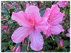 Pretty in Pink (Hope2b) Tags: azalea flower florida pink