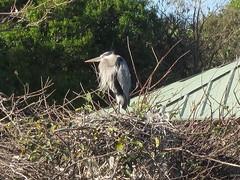 Ardea heroidias --  Great Blue Heron on her nest 2915 (Tangled Bank) Tags: palm beach county florida wild nature natural outdoors fauna ardea heroidias great blue heron her nest 2915 bird