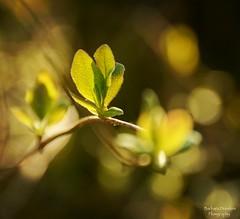 The Magic of New Beginnings (barbara_donders) Tags: natuur nature macro bokeh leaves blaadjes licht light mooi prachtig beautiful magisch magical groen green branch tak dof