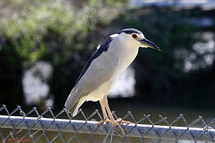 Black Crowned Night Heron On The Fence, Florida (Swift Wings) Tags: bird heron blackcrownednightheron waterfowl nature wildlife outdoors florida nycticoraxnycticorax