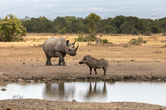 Meet Me at the Watering Hole (Jill Clardy) Tags: africa kenya vantagetravel safari 201902149l8a5775 black rhino rhinoceros warthog pumba watering hole ol pejeta conservancy sweetwaters tented camp meeting reflection water pond ngiri pumbaa explore explored