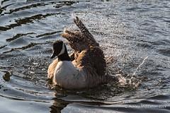 Canada Goose (Ashley Middleton Photography) Tags: coatewatercountrypark swindon animal bird canadagoose england europe goosegeese unitedkingdom water wiltshire