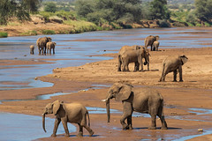 Elephant Families (Hector16) Tags: africa kenya samburuculture samburunationalpark samburu easternprovince ke loxodontaafricana saruni ngc npc