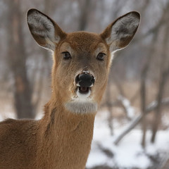 White tail deer_90 (Scott_Knight) Tags: deer canon scott knight minnesota ears winter white tail nature wildlife fort snelling