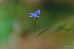 Scille (jpto_55) Tags: fleur scille tarn france proxi bokeh xt20 fuji fujifilm fujixf55200mmf3548rlmois