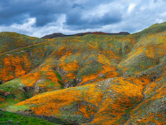 Cloudy with a chance of poppies (mutovkin) Tags: 2019 california flowers g9 hills lumix lumixg9 panasonic panasonicg9 poppies superbloom colorful spring wildflowers corona unitedstatesofamerica
