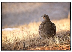 Hungarian Partridge. #photography #photooftheday #photoadaychallenge #canon7d #sigma150600 #nature #opcmag #project365 #yyc #calgary #fowl #partridge