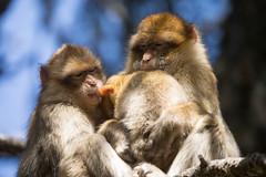 Family love (gaetano.merola) Tags: 1dx atlas monkey bertuccia scimmia barbarymacaques marocco ifrane