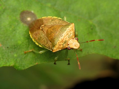 Stink Bug (treegrow) Tags: rockcreekpark washingtondc nature lifeonearth raynoxdcr250 arthropoda insect hemiptera heteroptera pentatomidae banasacalva