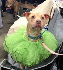 SuperPet Expo March 16, 2019 (EDWW (day_dae) Esteemedhelga) Tags: domesticanimals beloved cherished darling dear fairhaired favored favorite fond loved precious special sweet booboo caress fondle gentle love pat stroke canoodle cuddle neck nestle nose nuzzle snuggle paw cradle embrace enfold hug bounce dandle knead massage baby coddle indulge mollycoddle pamper spoil companionship superpetexpo dullesexpo serviceanimal therapyanimal petowner foreverhomes rescue guard oneofthefamily doodoo doody petadoption furryfriends esteemedhelgadaydaeedww