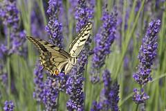 Schwalbenschwanz - Dovetail (heinrich.hehl) Tags: natur fauna flora schmetterling schwalbenschwanz lavendel lavender blumen flowers dovetail butterfly nature