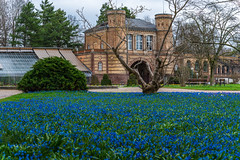 Blausterne im Botanischen Garten Karlsruhe (KaAuenwasser) Tags: blausterne scilla blumen pflanzen blüten baum bäume botanischergarten garten anlage park karlsruhe gebäude weg wege