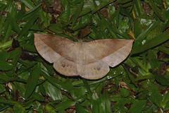 Sarcinodes sp (creaturesnapper) Tags: frasershill malaysia asia insects stephensplace moths lepidoptera geometridae nationalmothweek sarcinodessp