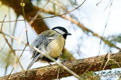 Kohlmeise 23 (rgr_944) Tags: vögel vogel bird oiseau tiere animaux animals natur outdoor canoneos80deos7dmk2eos5dmk4 rgr944