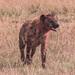 Spotted Hyena, Maasai Mara
