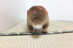 Ichigo san 1523 (Errai 21) Tags: いちごさん ichigo san  ichigo rabbit bunny cute netherlanddwarf pet うさぎ ウサギ いちご ネザーランドドワーフ ペット 小動物 1523