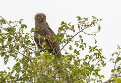 16-brownsnake-eagle-5962 (h.redpoll) Tags: mburonp brownsnakeeagle uganda