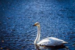 Sångare på rynkigt underlag. (MagnusBengtsson) Tags: ljungbyhed skånelän sverige se fotosondag rynkor fs190331 svan swan fågel bird vatten water