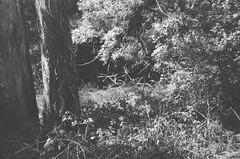 A mix of plants (Matthew Paul Argall) Tags: spartus35fmodel400 35mmfilm kentmerepan100 100isofilm blackandwhite blackandwhitefilm plant plants