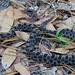 Pygmy Rattlesnake 3953