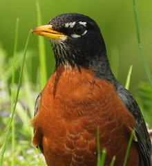 American Robin (Dodge Rock) Tags: 285