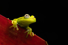 Tree Frog Portrait 2 (worm600) Tags: animal ecuador frog treefrog polkadottreefrog