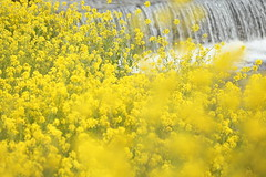 Yellow (Teruhide Tomori) Tags: landscape japan japon nature evening light riverside rapeseedblossoms yogoriver 余呉川 菜の花 アブラナ 日本 滋賀県 湖北 kohoku 風景 自然 spring flower rape