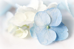Pastel Blue Hydrangeas (Through Serena's Lens) Tags: macromondays pastel hydrangeas flower petals freshcutflower paleblue dof macro canoneos6dmarkii soft dreamy bokeh