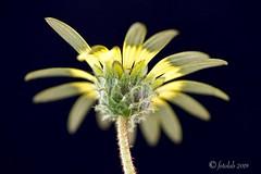 Margarita del Cabo. (EFD-fotolab) Tags: españa efdfotolab nikkor105mm nikond610 nikon nature naturaleza pétalos macrofotografia macro primavera2019 flores flowers margaritadelcabo