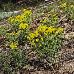 Euphorbia cyparissias (Cypress Spurge) -- Euphorbiaceae (Michael Huft) Tags: angiosperm dicots euphorbia euphorbiacyparissias euphorbiaceae plants