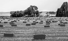 Farmhouse on the Shoreline (marvhimmel) Tags: bw tree general oregon barn fernridge hay field pink