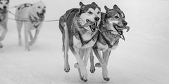 Dog-Sled Racing  - 2, BW (Traveller_40) Tags: animal cold couple dog dogsled dograce fell gespann hund hundeschlitten hundeschlittenrennen huskey inzell musher race racing schnee sled snow sonne winter zunge all4up clrearly difference fliegen fly lead outdoors racecourse second similar sledge sleding tongue bw biancoenero blackwhite blackandwhite blancoynegro monochrome monocromático nb noirblanc noiretblanc pretoebranco 单色 白黒