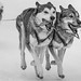 Dog-Sled Racing  - 2, BW