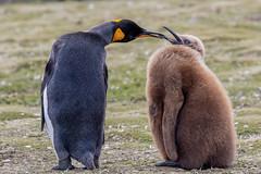 A new definition of big baby! (Linda Martin Photography) Tags: bird kingpenguin salisburyplain spheniscidae wildlife nature southgeorgia aptenodytespatagonicus naturethroughthelens coth alittlebeauty specanimal ngc coth5 npc