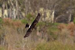 Northern Harrier (Jan Nagalski) Tags: bird hawk harrier northernharrier marsh marshy swamp nature wildlife inflight flying raptor birdofprey sarasota florida jannagalski jannagal