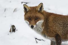Fox in the snow (Ann and Chris) Tags: fox wildlife wild snow animal beautiful looking eyes