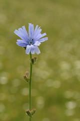 Common Chicory (Derbyshire Harrier) Tags: romania barsavalley 2018 summer june blue meadow naturetrek transylvania cichoriumintybus commonchicory