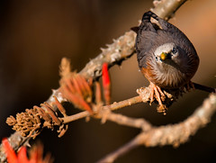 Chestnut tailed Starling (sanimbd) Tags: chestnut tailed starling ngc
