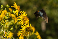 Me, Pollinate ME! (dglsbrwnsr) Tags: blackphase swallowtail butterfly compassflower flight fly insect missouri yellow
