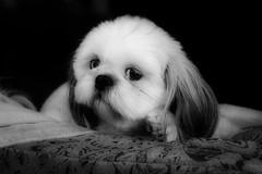 miss hootie (courtney065) Tags: nikond600 dogs canine pet monochrome bw blackandwhite petphotography lapdog toydoggroup shihtzu animalportraits littleliondog