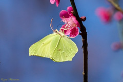 Papillon Citron sur cognacier du Japon (Ezzo33) Tags: france gironde nouvelleaquitaine bordeaux ezzo33 nammour ezzat sony rx10m3 parc jardin papillon papillons butterfly butterflies specanimal papilloncitron gonepteryxrhamni