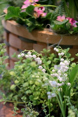 111. Lily of the valley (Misty Garrick) Tags: arboretum universityofminnesotalandscapearboretum landscapearboretum flowershow