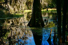 Reflections/Cypress Tree (surfcaster9) Tags: marsh cypress tree panasonic nature outdoors lumixg7 reflections moss