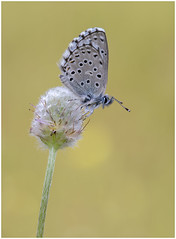 Panoptes Blue (nigel kiteley2011) Tags: butterfly blue butterflies panoptes canon nature wildlife miraflores lycaenidae