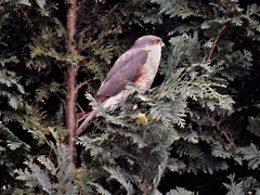 Sparrowhawk (Nick.Bayes) Tags: sparrowhawk raptor