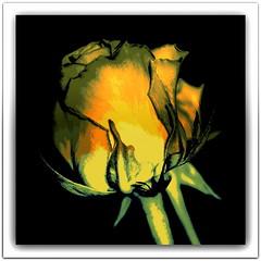 Róża. (andrzejskałuba) Tags: poland polska pieszyce dolnyśląsk silesia sudety europe panasonicdmcfz200 lumix plant roślina rose róża kwiat flower yellow żółty art beautiful color czarny biały black white zieleń green macro orange pomarańczowy 1000v40f 1500v60f