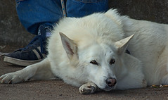 Alert State Of Rest (Scott 97006) Tags: guard dog canine animal pet cute liee rest alert listening senses