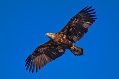 Juvenile Bald Eagle (SouthpawCaptures) Tags: bald eagel juvenile eagle long island bird prey wings birds