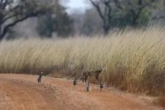 Serval (Jonas Van de Voorde) Tags: pendjari benin westafrica safari wildlife jonasvandevoorde serval felisleptailurusserval